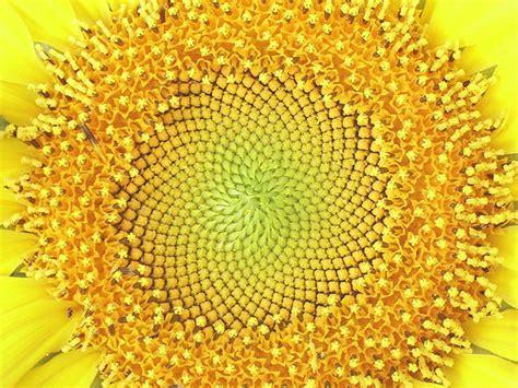 sunflower fibonacci sequence golden section sunflower sunflower by eeditor flickr photo sharing