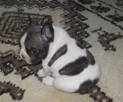 cheap teacup puppies for sale near me the 25 best cheap puppies for sale ideas on cheap puppies cheap dogs for