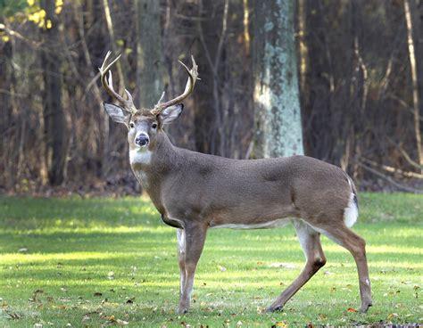 what is a buck outbreak of disease affecting northeast ohio deer herds