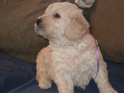 goldendoodle puppy for sale bc canadian goldendoodles goldendoodle breeder
