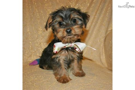 akc yorkies yorkie breeder akc terrier breeder exhibitor in roseburg breeds picture