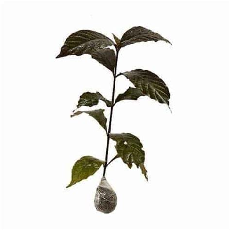 Jual Bibit Daun Ungu jual tanaman daun ungu daun wungu bibit
