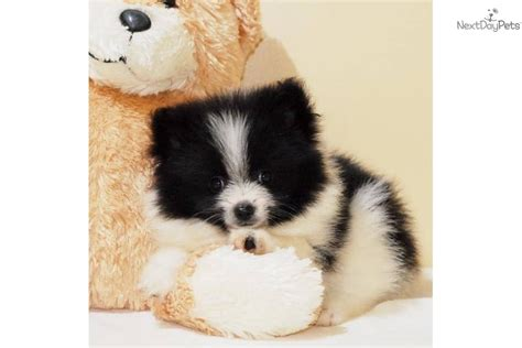 teacup pomeranian for sale vancouver teacup pomeranian free parti pomeranian puppies breeds picture
