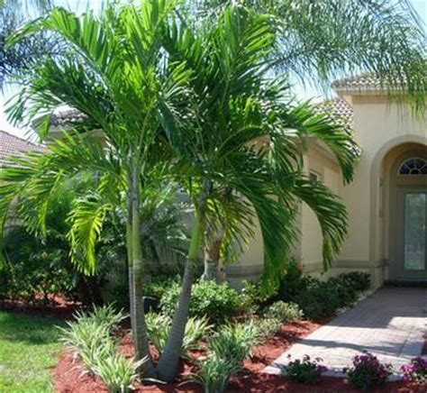 christmas palm trees for sale cape coral