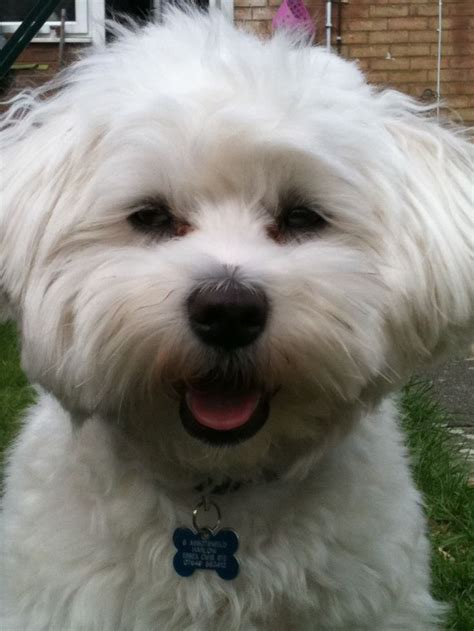 why has my maltese terrier got thin hair 17 best images about dogs on pinterest maltese shih tzu