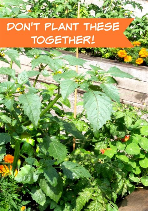 Companion Planting Part 2 Don T Plant These Plants What Should I Plant In My Vegetable Garden