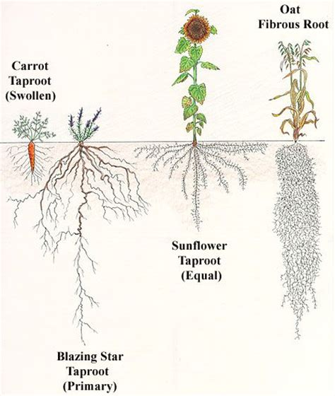 root structure diagram 10 best plant anatomy i leaf stem root images on