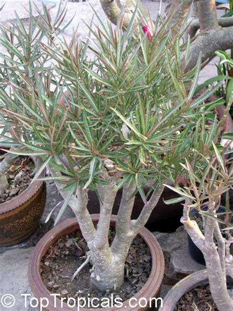 Adenium Somalense adenium somalense desert adenium plants and plants
