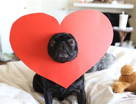 accessories for pugs and easy pug valentines day idea puglove pug breeder