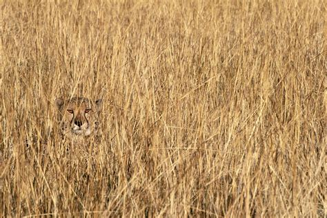 South Grass by Cheetah Phinda Reserve South Africa Wolfe