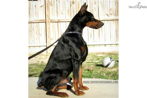doberman puppy for sale mini doberman pinscher for sale in houston breeds picture