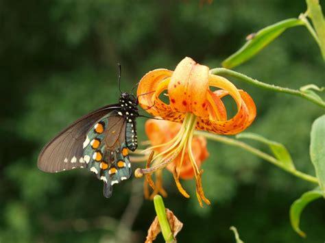 significato dei fiori lilium lilium il giglio simbolo di purezza coltivazione e