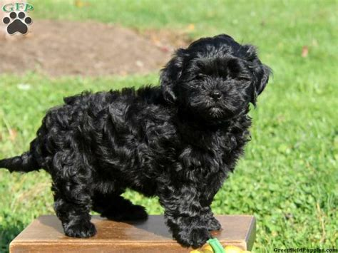 shapoo puppies wiki 10 images about shih poo on pinterest toy poodles shih