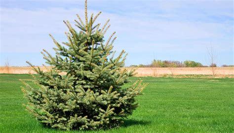 garten anpflanzen weihnachtsb 228 ume anpflanzen im eigenen garten