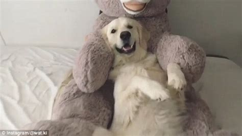 dogs trust golden retriever shows watson trying out the trust fall onto a teddy daily mail