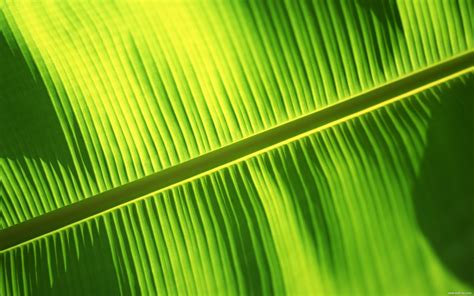 bananas leaf wallpaper banana leaf wallpaper 1920x1200 29155
