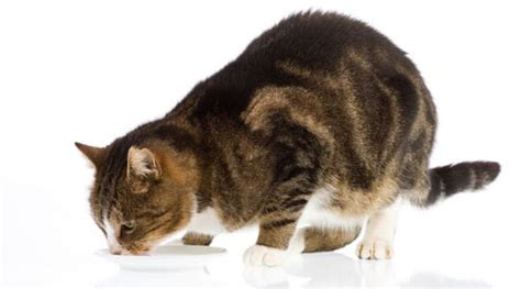 how can a go without water how can a cat go without cancats net