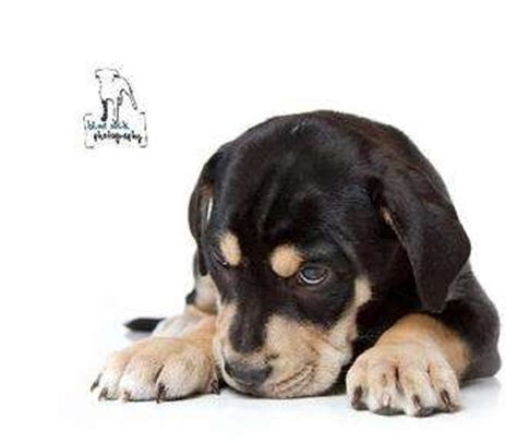 puppy adoption rochester ny felix adopted puppy 4410094 rochester ny rottweiler mastiff mix