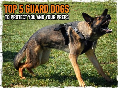 top guard dogs top 5 guard dogs to protect you and your preps survival