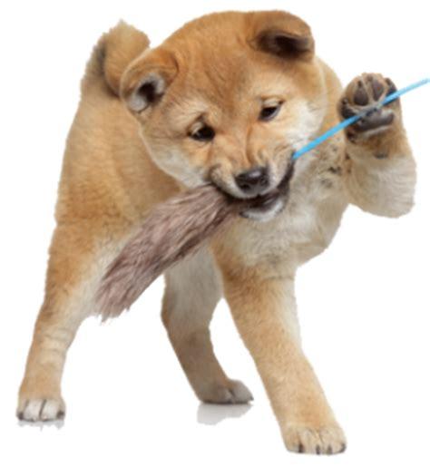 shiba inu puppies price how much do shiba inu puppies cost my shiba inu