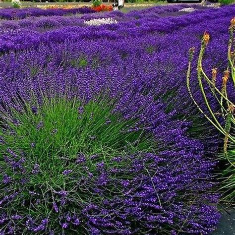 Lavandula Angustifolia Hidcote Blue 2479 by 1000 Ideas About Lavender Bedrooms On