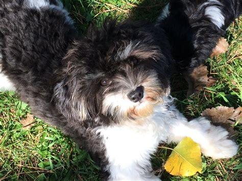 so havanese so havanese puppies for sale