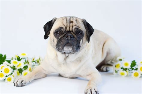 how do pugs usually live 3 reasons is better with a pug sed bona