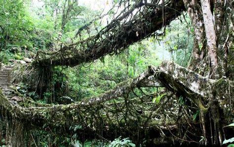 living bridges living root bridges in india mother trip nature