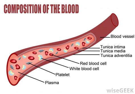 blood diagram what is blood tissue with pictures