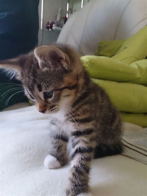 looking for cats and kittens for sale in chicago why not looking for a tabby kitten for sale liverpool
