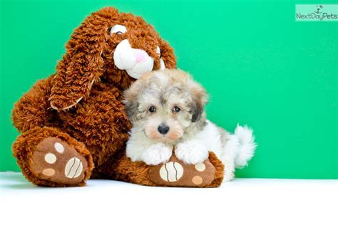 havanese dogs for sale in ohio havanese puppy for sale near columbus ohio 0524a8df c5d1