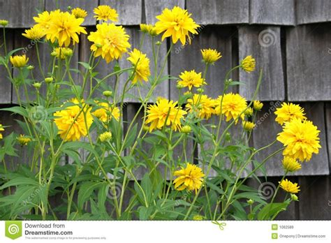 yellow flowering perennials tall yellow flowering perennial against some weathered shingles