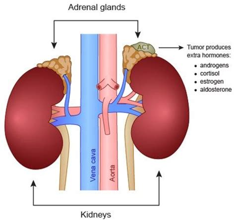 adrenal gland diagram 1000 images about adrenal gland cancer awareness on