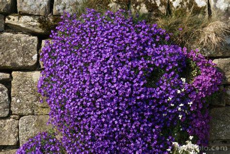fiori da bordura pieno sole aubretia pictures free use image 12 43 13 by freefoto