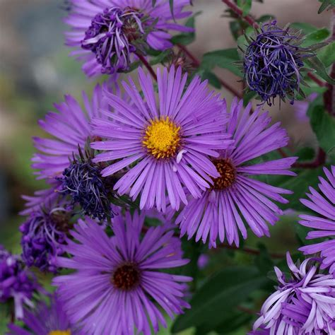 asters plant care and collection of varieties garden org