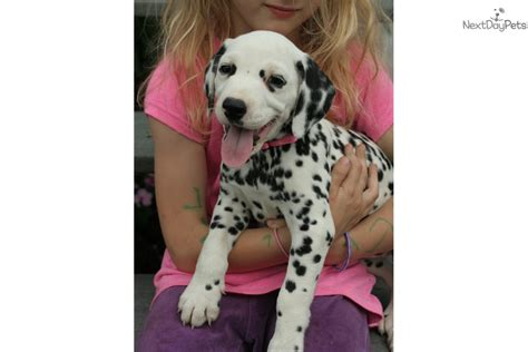 dalmatian puppies near me dalmatian puppy for sale near akron canton ohio f9cc92db 2a01
