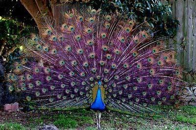 merak biru burung merak merak biru merak india keindahan burung