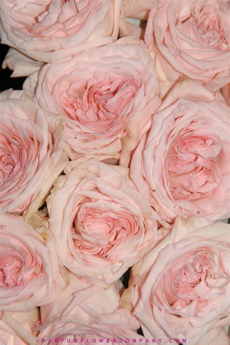 premium scented garden rose pink ohara