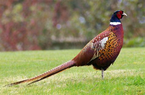 how to a pheasant file pheasant jpg