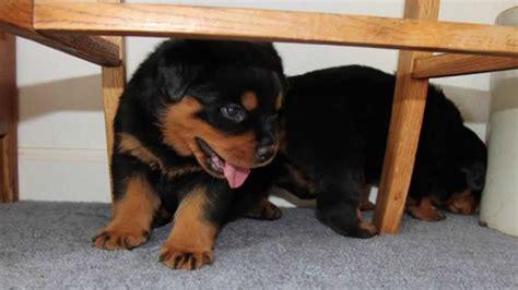 2 week rottweiler puppy rottweiler puppy 4 weeks