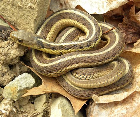 Garter Snake For Pet Garter Snakes Are Scaring Away Postal Workers In Chicago