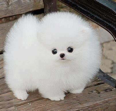 fluffy puppys 52 best images about animals on snowball puppys and pembroke