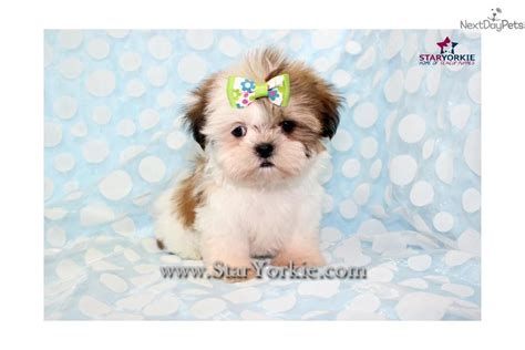 white teacup shih tzu puppies tiny teacup shih tzu puppies breeds picture