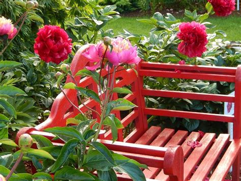 peony the best varieties for your garden books the 25 best tree peony ideas on peonies