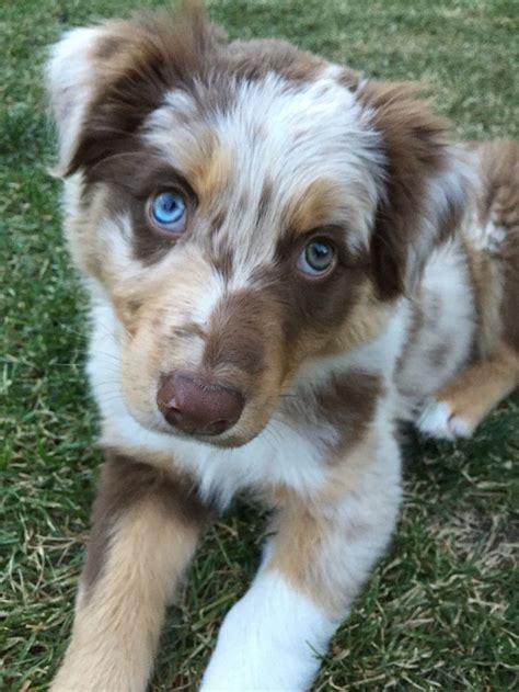 aussie puppy best 25 aussies ideas on aussie puppies australian shepherd puppies and