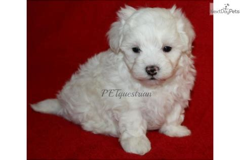 maltipoo puppies for sale near me malti poo maltipoo puppy for sale near grand forks dakota 861b45f6 0001