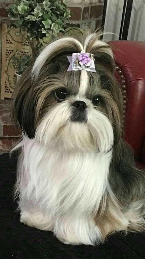 clothes for shih tzu best 25 baby shih tzu ideas on