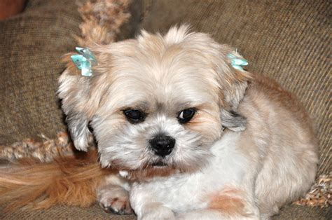 Do Lhasa Apso Shed by Smallest Grown Www Imgkid The Image Kid