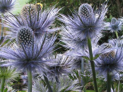 Alpaþyrnir. Eryngium alpinum.   a photo on Flickriver