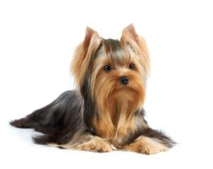 yorkie hind leg problems yorkie breed history nutrition and common health problems